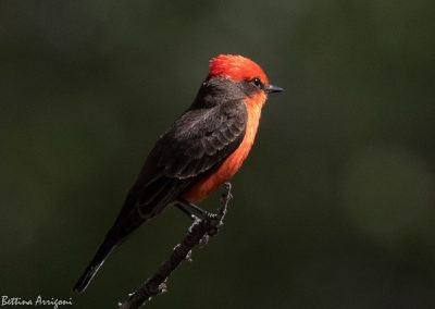 Vermillion Flycatcher, Bettina Arrigoni, Fickr Creative Commons, April 2017